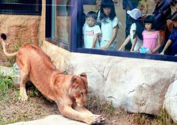 凍らせた馬肉を前に身を乗り出す雌ライオンの「カノ」=13日、沖縄こどもの国