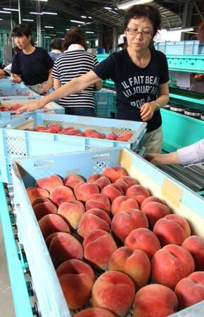 出荷が始まった、わせ品種のモモ=11日、加茂市前須田