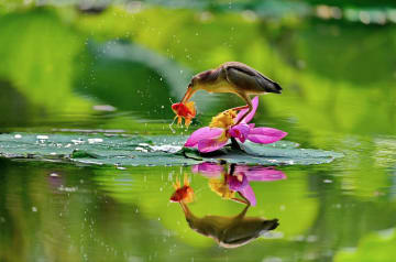 ハス池で戯れる水鳥 河北省唐山市