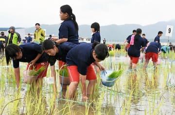 ひもで仕切られた中で、色ごとに苗を植え付ける高校生たち=玉名市