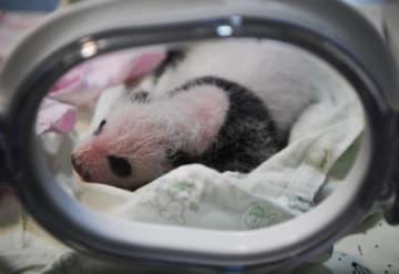 2頭のパンダ、同じ日に双子を出産 重慶市