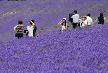 見頃を迎え、一面が鮮やかな紫に染まったラベンダー畑を楽しむ観光客=18日、北海道中富良野町の「ファーム富田」