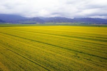 祁連山麓に広がる菜の花畑 甘粛省民楽県