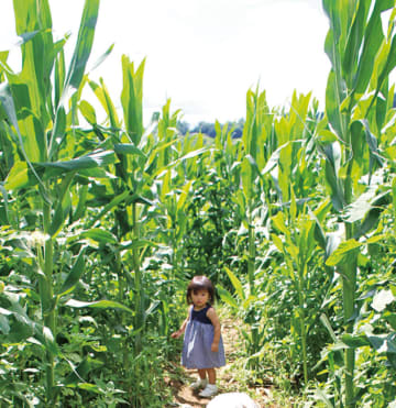 「デントコーン迷路&ひまわり畑」で遊ぼう!7月20日にオープンイベント模擬店など【秦野市】