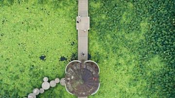 無限に広がる緑の蓮の葉 遼寧省瀋陽市