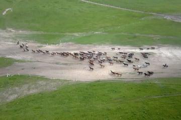 一面の草原を駆ける駿馬 甘粛省山丹馬場