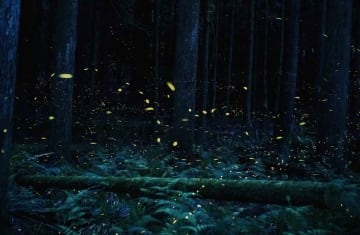 黄色の光を明滅させながら飛び交うヒメボタル(福知山市大江町佛性寺)=20秒間露光で撮影した40枚を合成