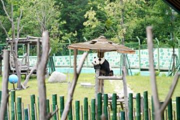 パンダの姉弟、黒竜江省の生活を満喫