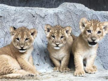 来園者の投票で名前が決まったライオンの赤ちゃん。左からココ、レオ、サニー(熊本市動植物園提供)