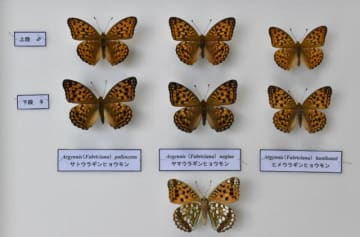 新種と判明した「ヤマウラギンヒョウモン」と「ヒメウラギンヒョウモン」の標本