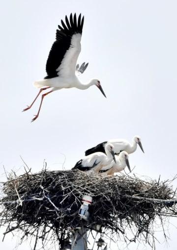 巣の上で高く浮き翼を広げる、コウノトリのひなの雌=7月23日、福井県坂井市内