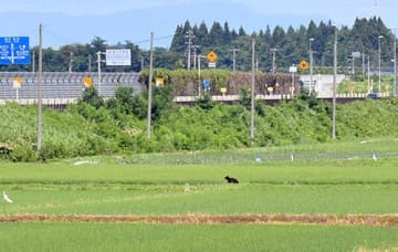 住宅地近くの水田を走るクマ。この後、駆除された=24日午前10時半、尾花沢市尾花沢