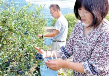 青紫色に丸々と実った晩生種のブルーベリー=美里町広木の飯野果樹園