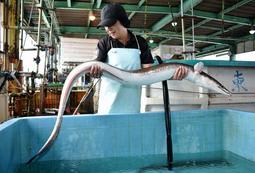 全長1.6メートル、重さ約10キロの巨大ハモ=姫路市白浜町
