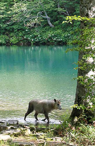 涼しい蔵王のドッコ沼。ニホンカモシカが水辺をのんびり歩いていた=山形市