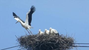 電柱の巣から飛び立つコウノトリのひな=7月26日午前9時35分ごろ、福井県坂井市