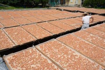 天日干しのため、広場に広げられた塩漬けの梅(25日、和歌山県田辺市中三栖で)