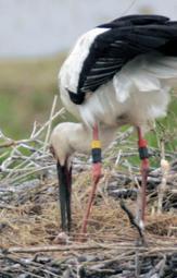 43年ぶりの自然繁殖を成功させたコウノトリの親鳥。25日に死亡が確認された=2007年5月、豊岡市百合地