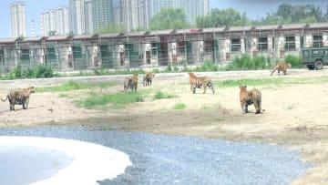 アムールトラの野生化訓練始まる 横道河子繁殖センター