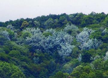 木々の一部が白くなった逢坂山(27日午前7時ごろ、大津市中央1丁目から撮影)=前田伸一さん提供