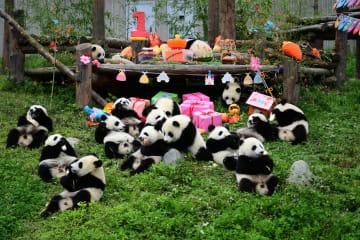 ジャイアントパンダの赤ちゃん18頭の誕生会 四川省