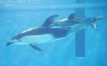 出産直後の親子イルカ(マリンピア日本海提供)