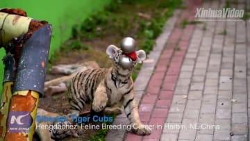 中国の繁殖センターで遊ぶアムールトラの赤ちゃん