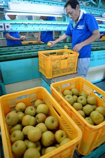 品質をチェックしながら、船橋のナシ「幸水」の出荷作業する生産農家ら=31日、船橋市のJAいちかわ船橋経済センター