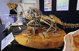 巣で卵を覆うような状態で見つかったシチパチの全身骨格化石(レプリカ)=ちーたんの館