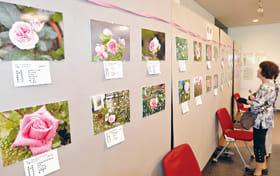 会員が育てたバラの数々の写真が並んだローズフォトパネル展