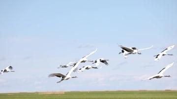 扎竜国家級自然保護区、タンチョウ20羽を野生復帰 黒竜江省