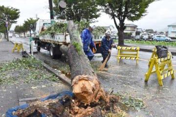 強風で根元から折れた街路樹=6日午前9時5分、延岡市大貫町5丁目