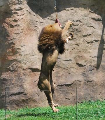ワイヤでつるされた肉に飛び上がって食いつくライオン=6日、千葉市若葉区の市動物公園