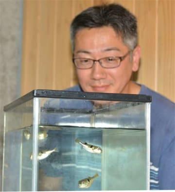 県水産振興センターで育成中のトラフグの稚魚