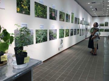 写真や標本などで紹介されている帰化植物(京都市左京区・京都府立植物園)