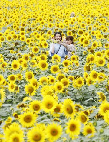 北海道北竜町にある日本最大級のヒマワリ畑で約200万本が見ごろを迎え、記念撮影する観光客。20日ごろまで楽しめるという=7日