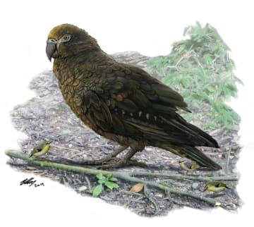 世界最大のオウムのイメージ図(足元にいるのはニュージーランドで見られる体高8センチほどの鳥)(フリンダース大のブライアン・チュー博士提供・共同)