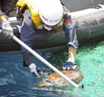 ウミガメを助ける対馬海上保安部の職員=7日、長崎県対馬市沖(同保安部提供)