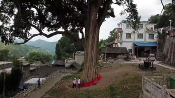 小さな村の「キング・オブ・タブノキ」 貴州省思南県