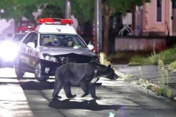 警察官の乗ったパトカーの前を悠然と横切るクマ=10日午前0時55分、札幌市南区藤野