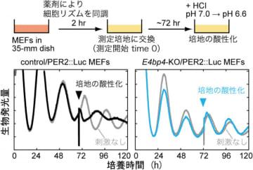 D-box活性の変化により体内時計をコントロールする仕組み。(画像: 東京大学の発表資料より)
