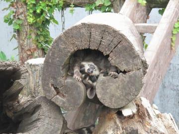 木の洞の中で暑さを凌ぐアライグマ(平川動物公園ツイッター)
