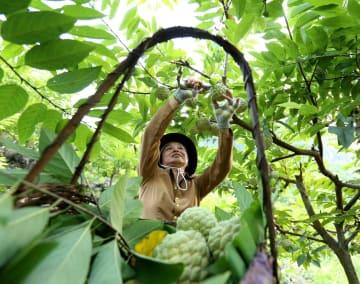 バンレイシが収穫期迎える ベトナム・ランソン省