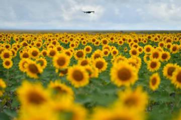 金色の大地に輝くヒマワリの笑顔 甘粛省景泰県
