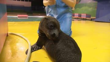 """「日本一触れ合える水族館」で生まれたばかりのアシカとアザラシ """"育ての親""""のママさん飼育員が大好き 画像"""