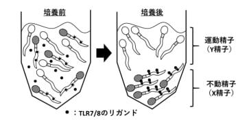 TLR7とTLR8がX精子に及ぼす影響。(画像:広島大学発表資料より)
