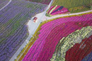 荒れ地が一面の花畑に 甘粛省白銀市