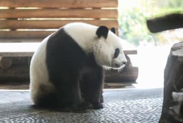 ベルリン動物園の人気ジャイアントパンダ「夢夢」