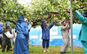 強風対策のネットや支柱が設置された園地で、主力品種・幸水の生育調査を行う農家ら=酒田市刈屋