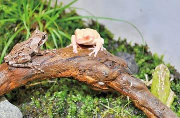 希少な「白いカエル」展示@相模川ふれあい科学館アクアリウムさがみはら